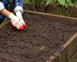 Как сажать свеклу в открытый грунт рассадой 100