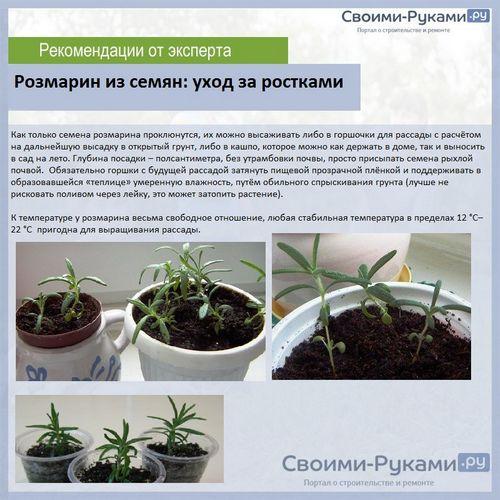 Розмарин выращивание дома из семян